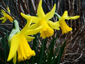 Daffodils for St David's Day (from last year as non are flowering in my garden yet)