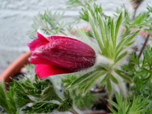 Beautiful downy Pulsatilla