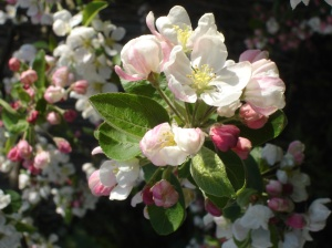 Blooming Crab Apple