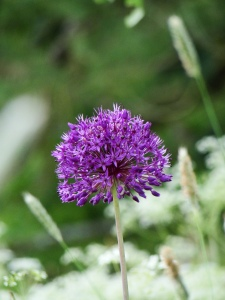 Alliums a favourite flower of Sarah Raven