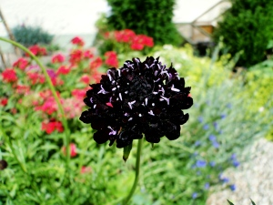 Scabious 'Black Cat'