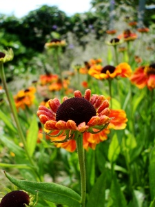 Heleniums bringing a touch of heat to the garden