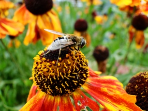 Helenium - bee-friendly plant