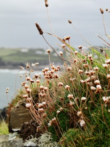 Seedheads of sea thrift