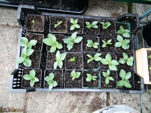 Broad beans ready and waiting