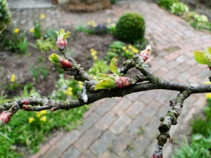 Buds on my crab apple
