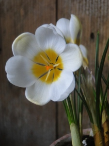 Crocus 'Cream Beauty'